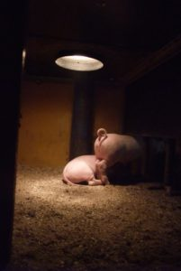 Two piglets in their cubbyhole. Photo: AnnVixen