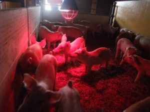 The tasty and happy pig is one of the aims of the eco-dynamic farm. Photo: AnnVixen
