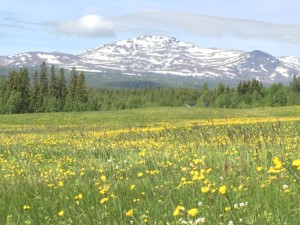 It is June and spring has arrived at Faviken. The views are breath taking Photo: AnnVixen